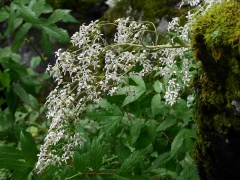 Mountain queen (Saxifraga cotyledon) -- Mountain queen (Saxifraga cotyledon)