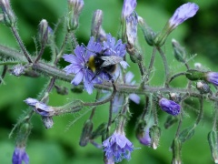 Cicerbita alpina / alpine sow thistle / turt -- Cicerbita alpina / alpine sow thistle / turt (Dansk: almindelig turt ) with bumble bee!
