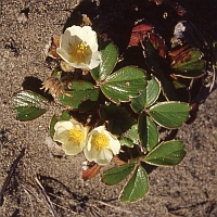 Chilean strawberry (Fragaria chiloensis) -- Chilean strawberry (Fragaria chiloensis)